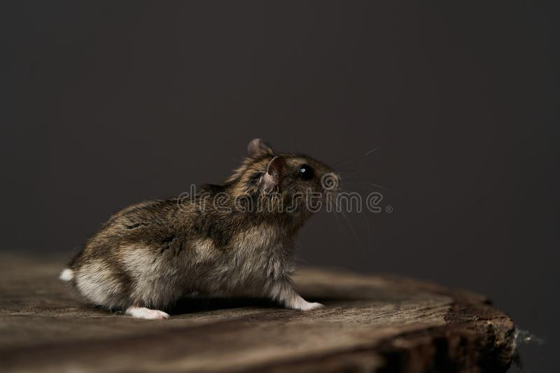 Little domestic hamster on grey background. Djungarian Dwarf hamster. Close-up. Play with pet small hamster on a wood stump. Rodent stock photo