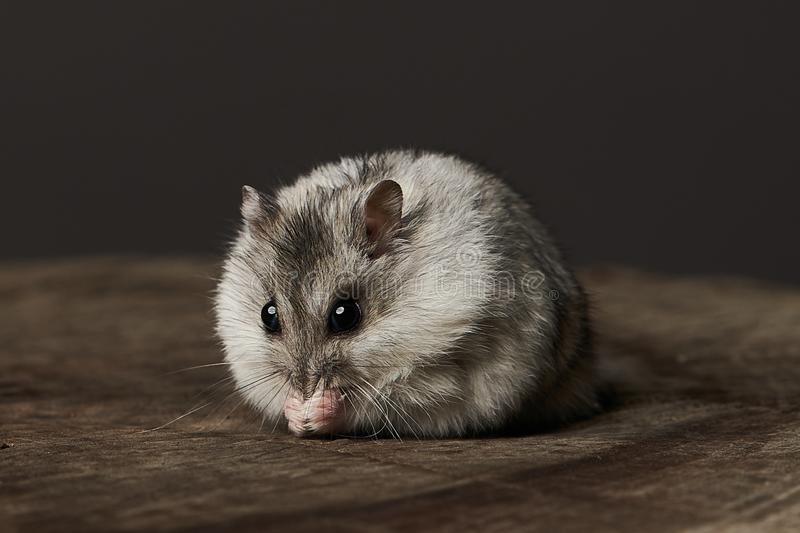 Little domestic hamster on grey background. Djungarian Dwarf hamster. Close-up. Play with pet small hamster on a wood stump. Rodent stock images
