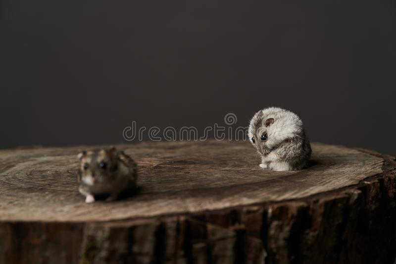 Little domestic hamster on grey background. Djungarian Dwarf hamster. Close-up. Play with pet small hamster on a wood stump. Rodent stock photography
