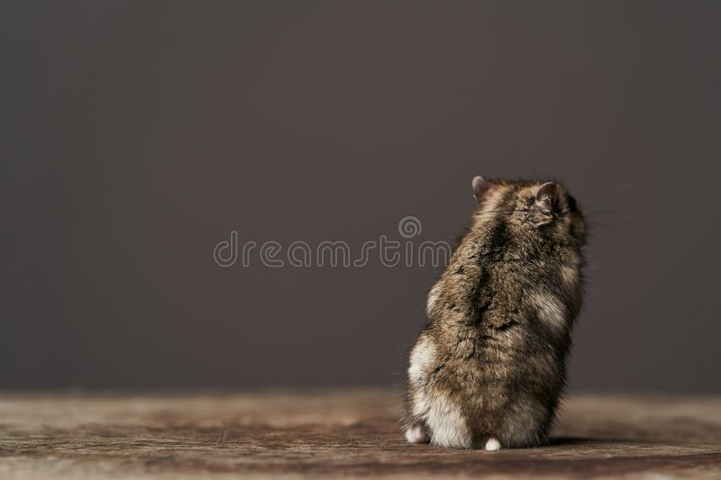 Little domestic hamster on grey background. Djungarian Dwarf hamster. Close-up. Play with pet small hamster on a wood stump. Rodent stock image