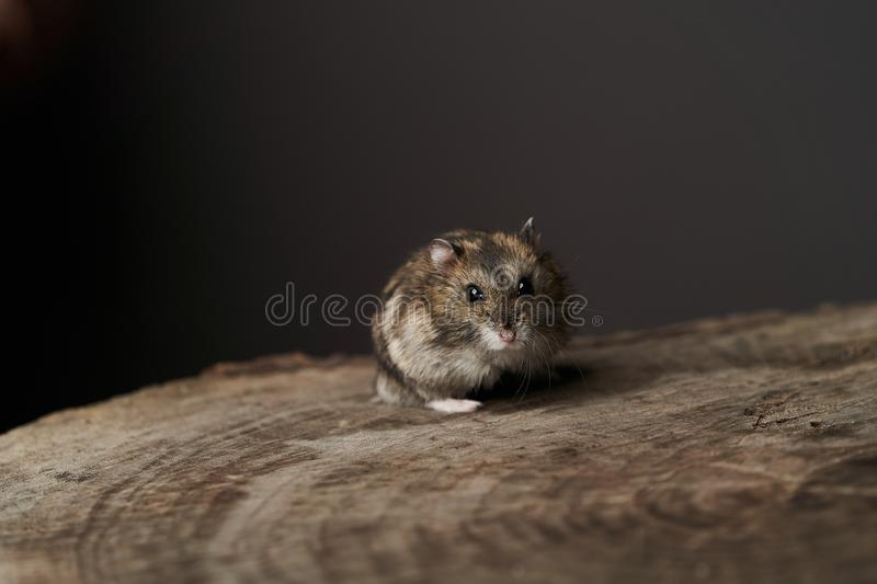 Little domestic hamster on grey background. Djungarian Dwarf hamster. Close-up. Play with pet small hamster on a wood stump. Rodent royalty free stock photos