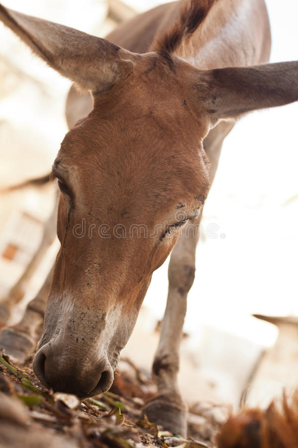 A Little Donkey Stock Photography