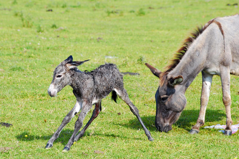 Little donkey first step