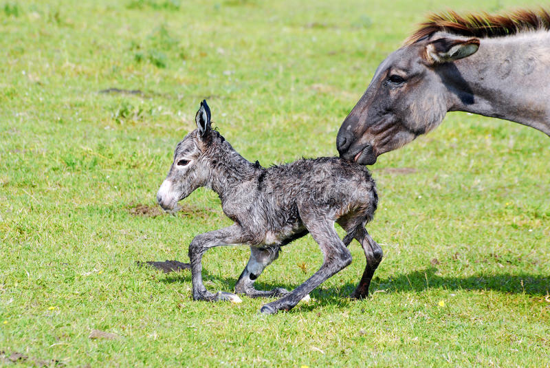 Download Little donkey and jenny stock image. Image of just, totter - 14772733