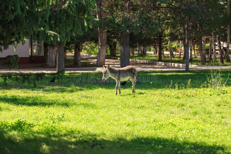 Little donkey in a meadow with green grass. Country landscape stock photo