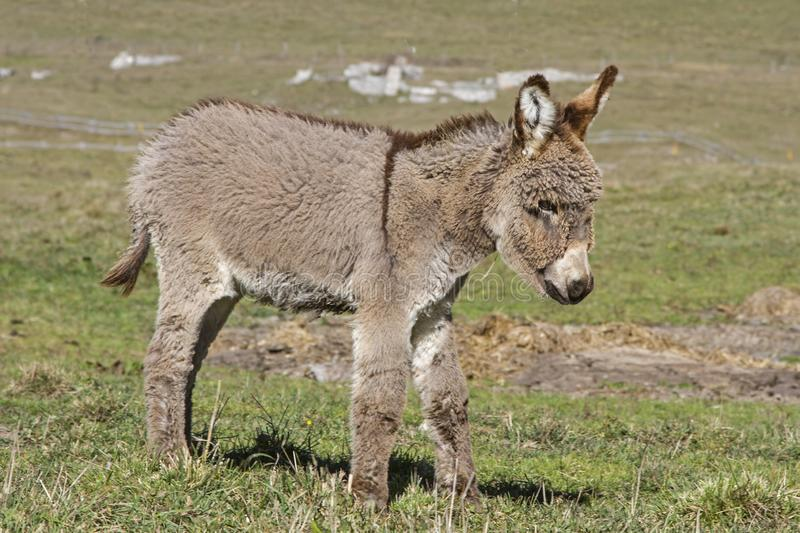 Little donkey on the Vezzena pass stock images