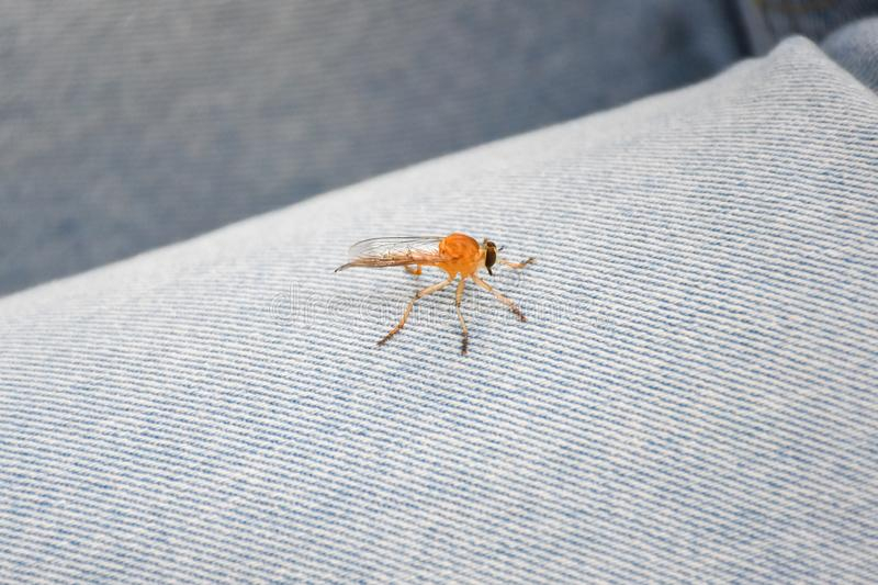 Little dragonfly catching on blue jeans.  stock photography