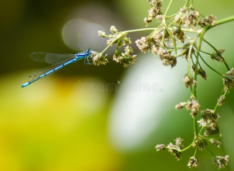 Little dragonfly rests on withered flowers. Green blur Background royalty free stock image