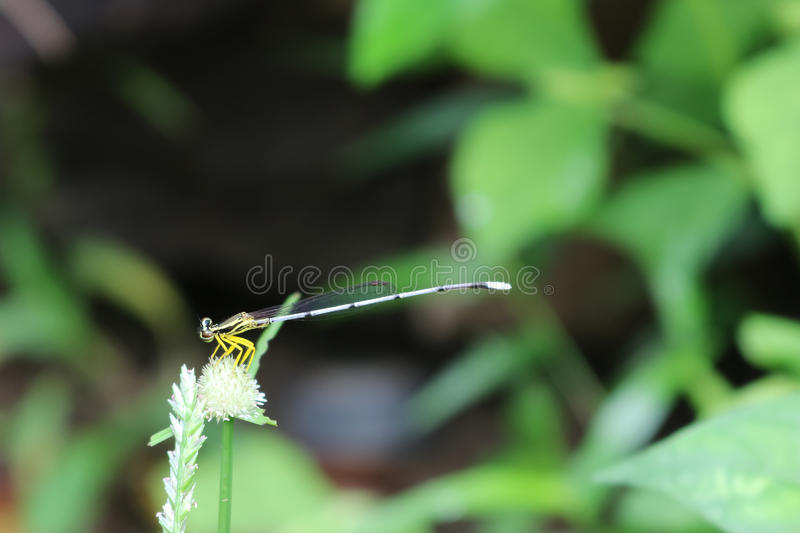 Little dragonfly,white long-tail in the garden. Little dragonfly,white long-tail in the garden in Thailand stock photo