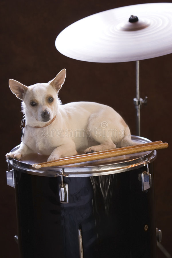LIttle Drummer Jack Russell stock image