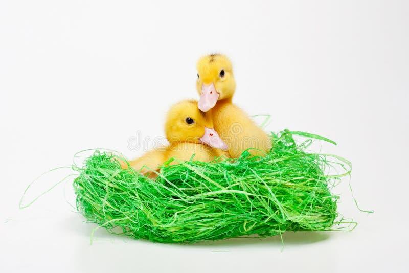 Little duck stock photos