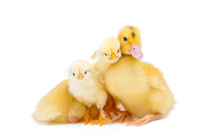 Little duck and chicken royalty free stock image