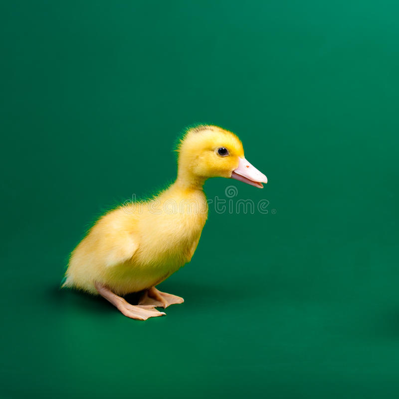 Little duck royalty free stock photo