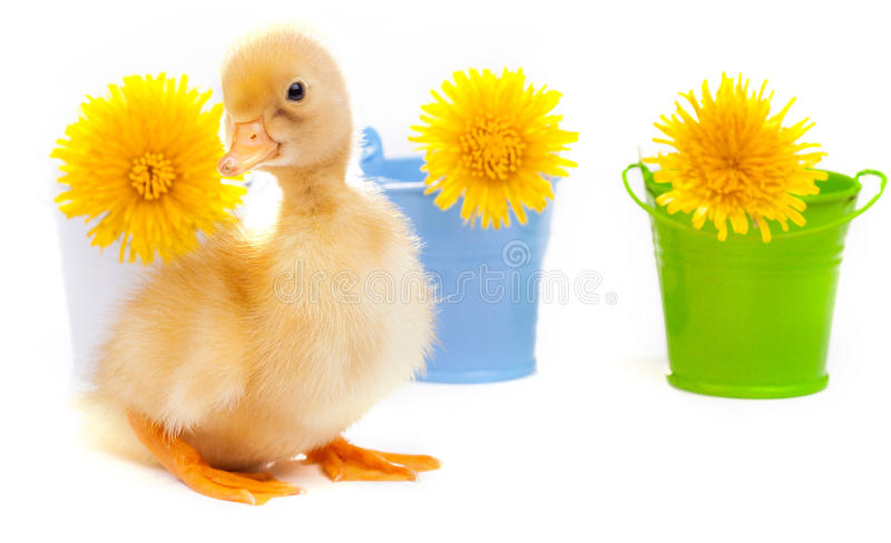 Little duckling on a white background royalty free stock photo