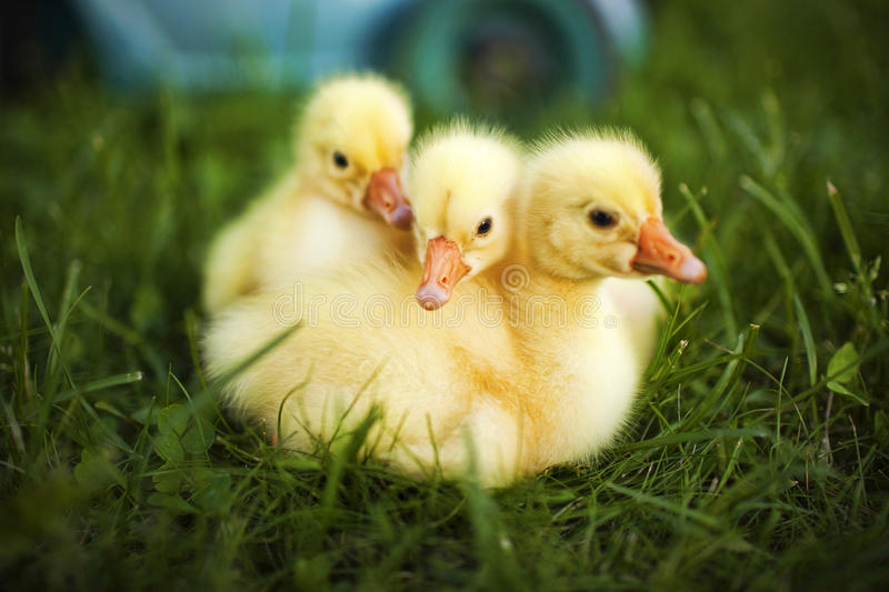 Little ducklings exploring the world. Around us stock photography