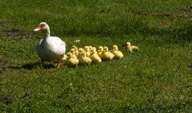 Little ducklings with their mother stock photo