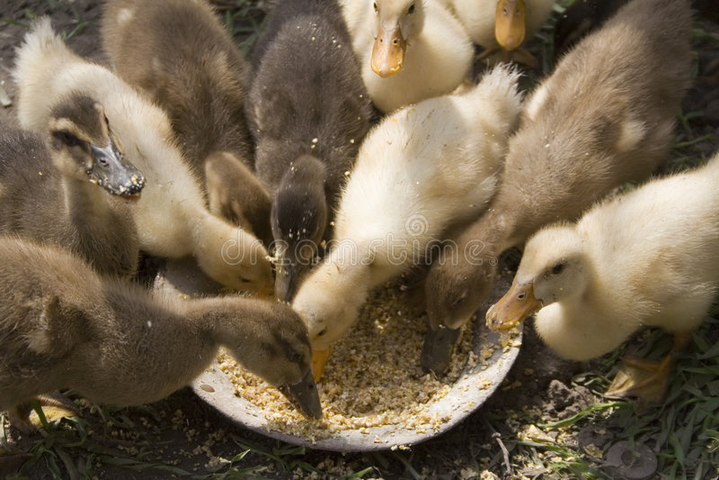Little ducks feeding royalty free stock photos