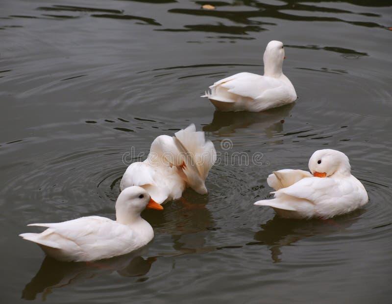 Little Ducks stock photos