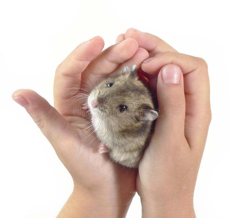 Little dwarf hamster royalty free stock image