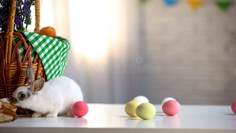 Little Easter bunny eating sweet cake, colored eggs and basket on table, pet. Stock photo stock images