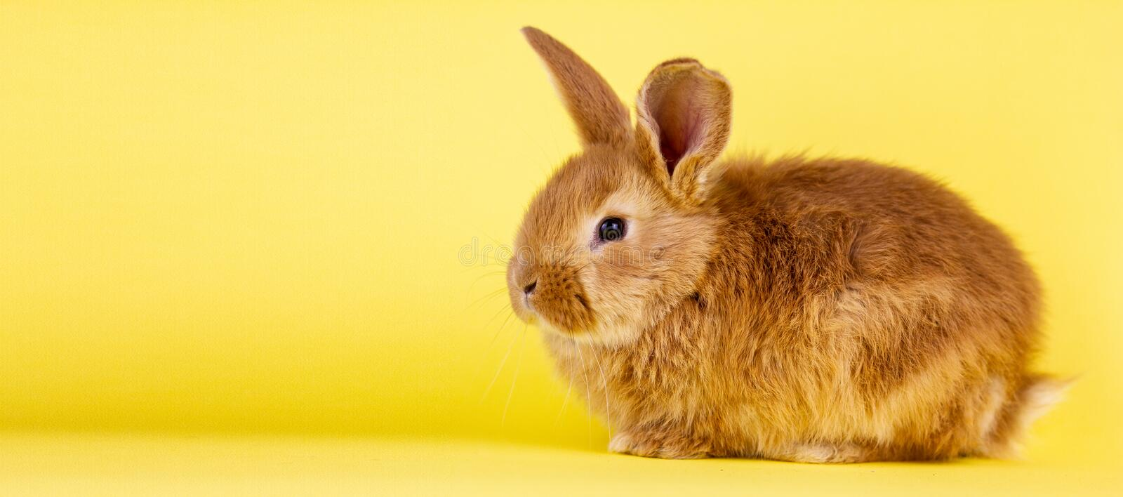 Little easter lively rabbit on a yellow background. Red fluffy rabbit on a yellow background, banner picture. Easter Bunny stock photography