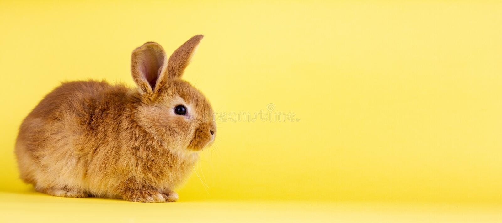 Little easter lively rabbit on a yellow background. Red fluffy rabbit on a yellow background, banner picture. Easter Bunny royalty free stock photos
