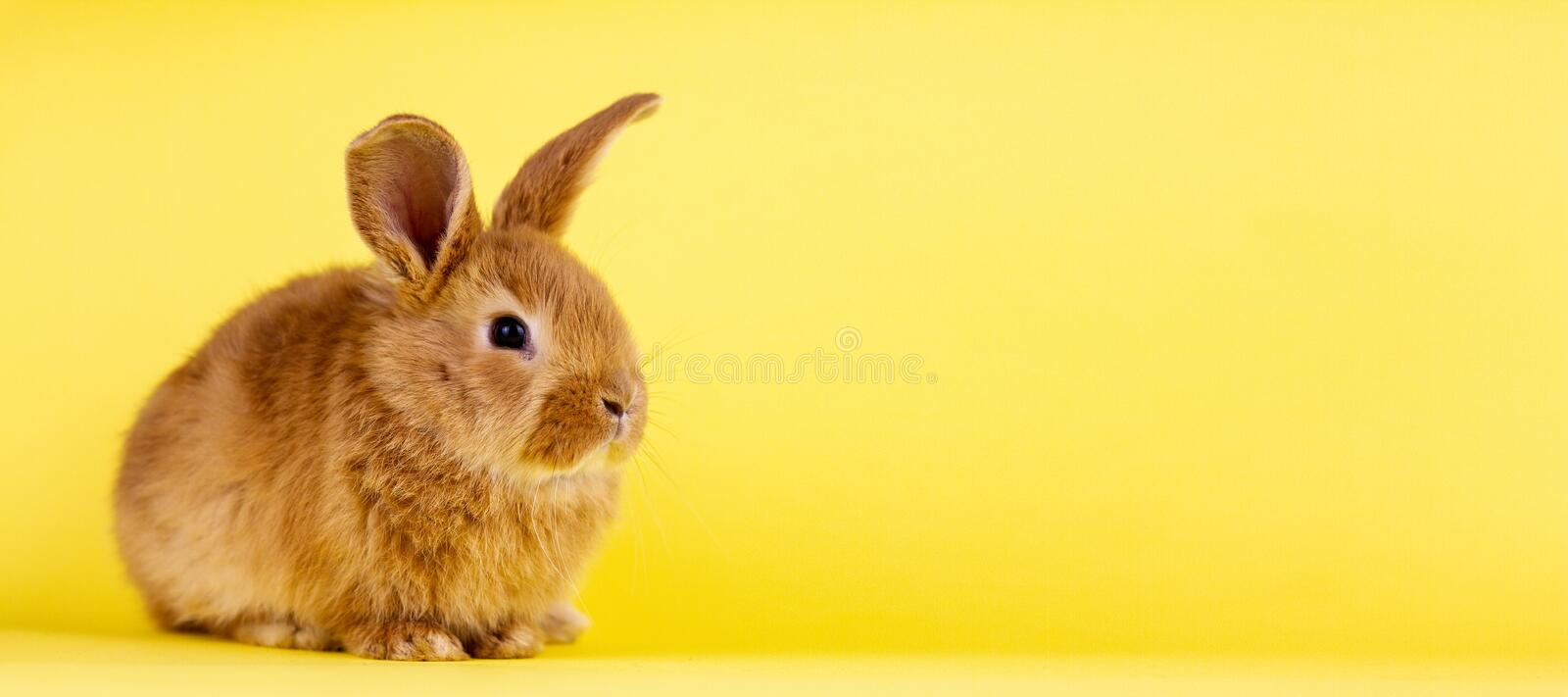Little easter lively rabbit on a yellow background. Red fluffy rabbit on a yellow background, banner picture. Easter Bunny royalty free stock images