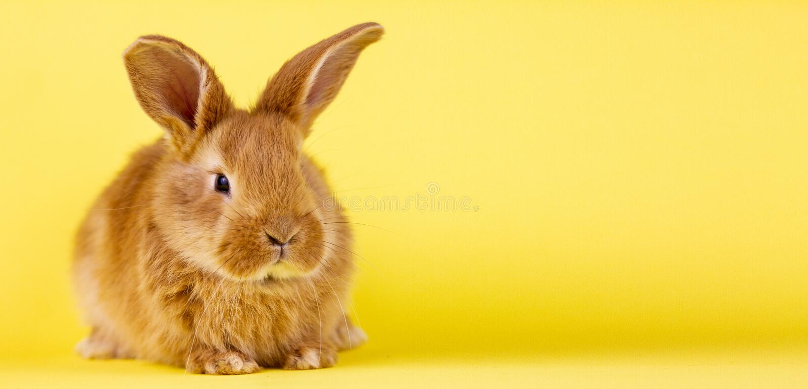 Little easter lively rabbit on a yellow background. Red fluffy rabbit on a yellow background, banner picture. Easter Bunny stock images