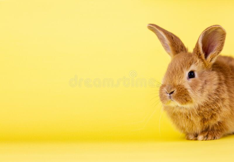 Little easter lively rabbit on a yellow background. Red fluffy rabbit on a yellow background, banner picture. Easter Bunny royalty free stock photo