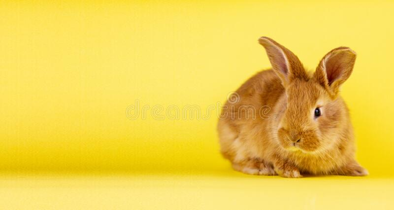 Little easter lively rabbit on a yellow background. Red fluffy rabbit on a yellow background, banner picture. Easter Bunny stock photos