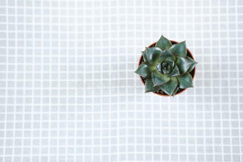 Little Echeveria `Black Prince` stands on a gray napkin stock photos
