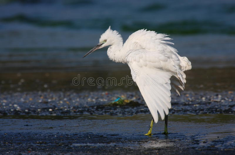 Download Little egret stock photo. Image of birdwatching, beauty - 17737130