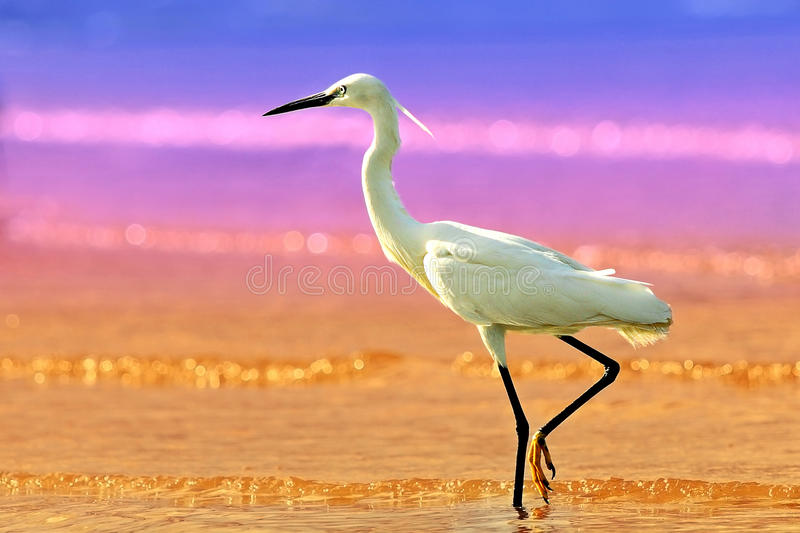 Download Little Egret stock image. Image of foraging, color, cattle - 26799805