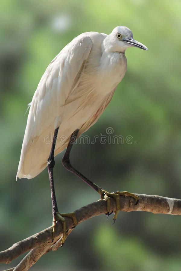 Download Little egret stock image. Image of plumage, beak, nature - 27307083