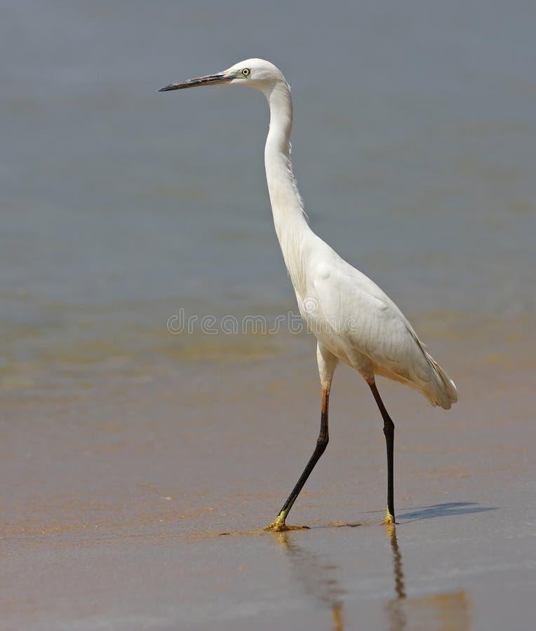 Little Egret on a beach II royalty free stock photo
