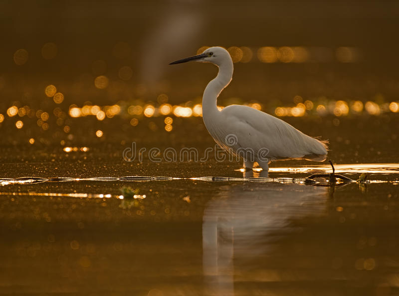 Little Egret Casmerodius albus. Looking for fish at sunrise stock photography
