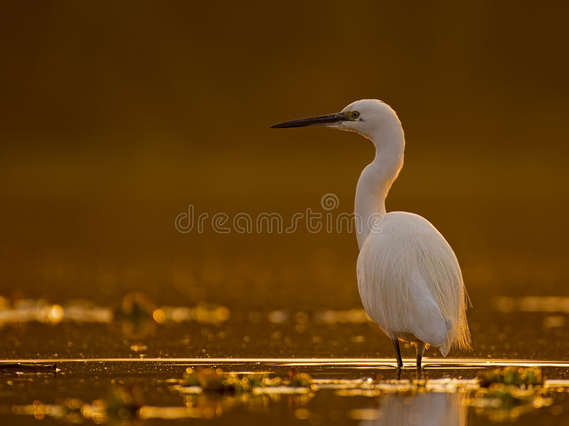 Little Egret Casmerodius albus. Looking for fish at sunrise stock images