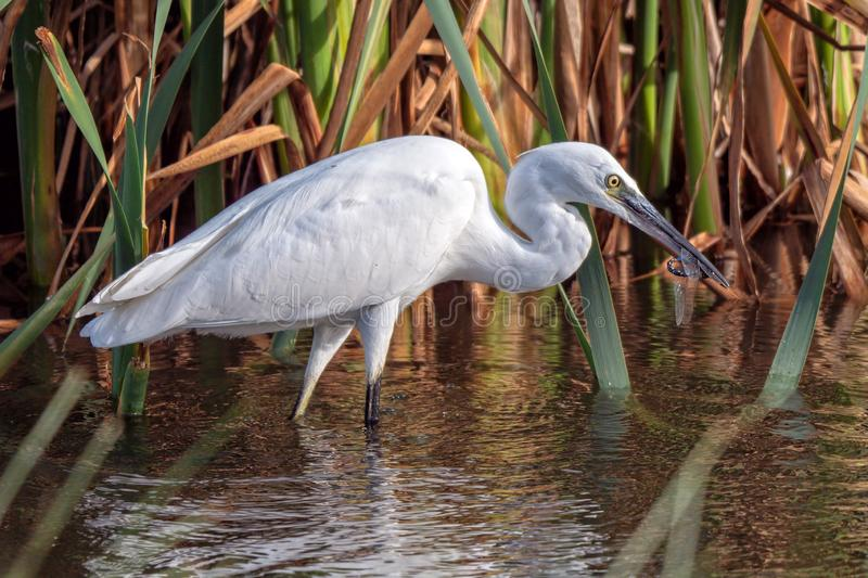 Little Egret with a Dragonfly, Worcestershire, England. A Little Egret - Egretta Garzetta on a Worcestershire wetland with a dragonfly in its bill that it has royalty free stock image