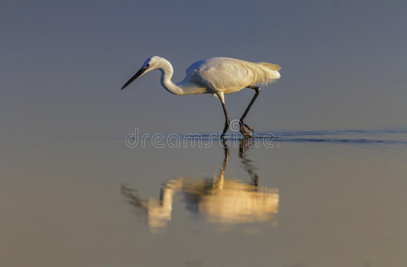 Little egret, egretta garzetta, Camargue, France. Little egret, egretta garzetta, walking in the water looking for food in Camargue, France stock photography