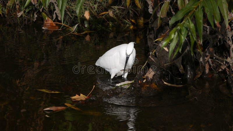 Little egret / Egretta garzetta fishing with stickleback in beak royalty free stock image