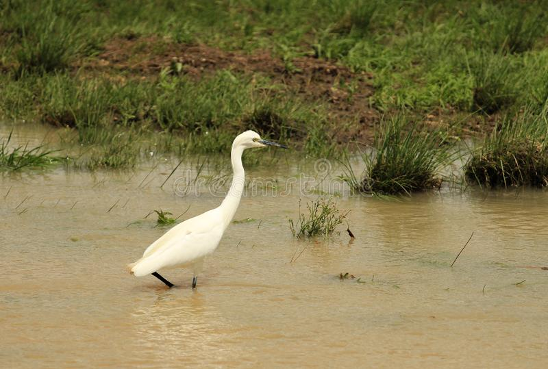 Little Egret {Egretta garzetta} in the nature stock photography