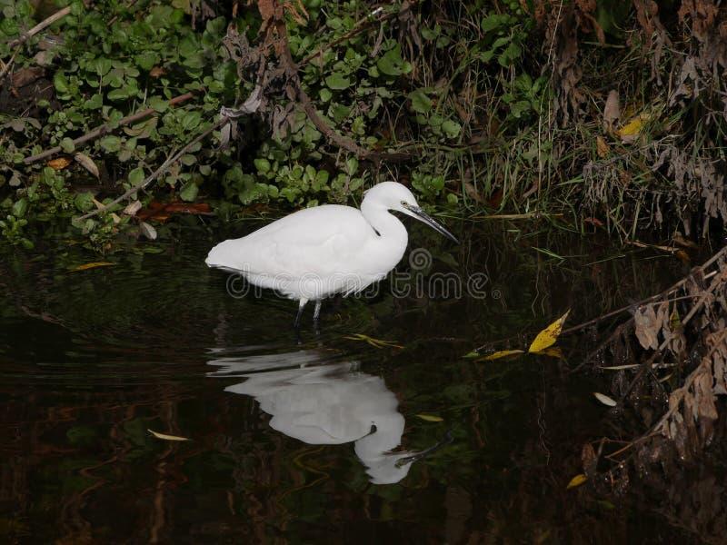 Little Egret / Egretta garzetta in a river hunting for fish stock image