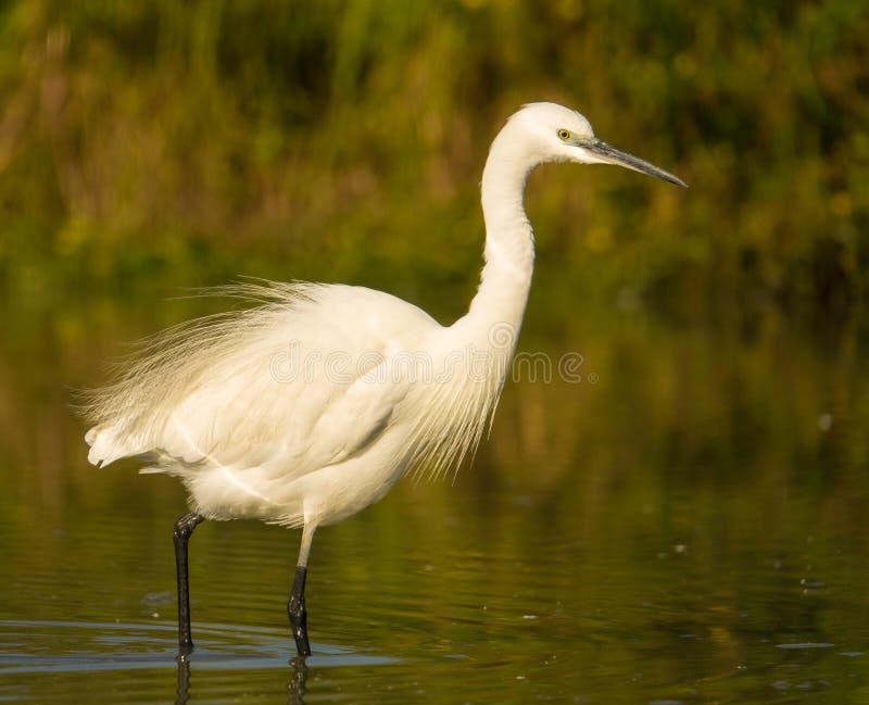 Little Egret. Egretta garzetta, shacking it`s plumage, wading in a shallow water lagoon in Italy royalty free stock photos