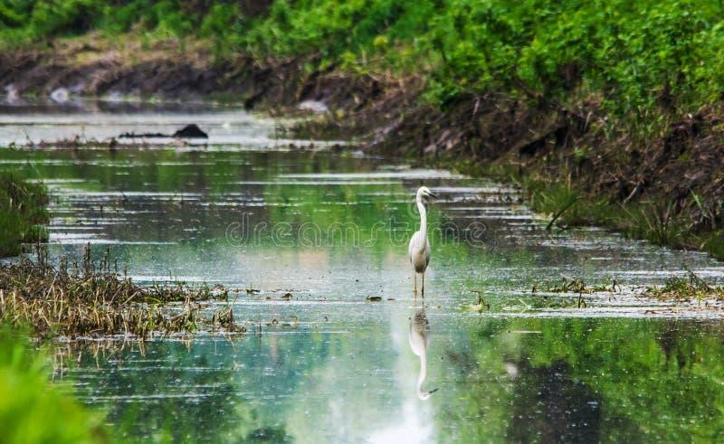 Little egret (Egretta garzetta) standing in the shallow stream stock images