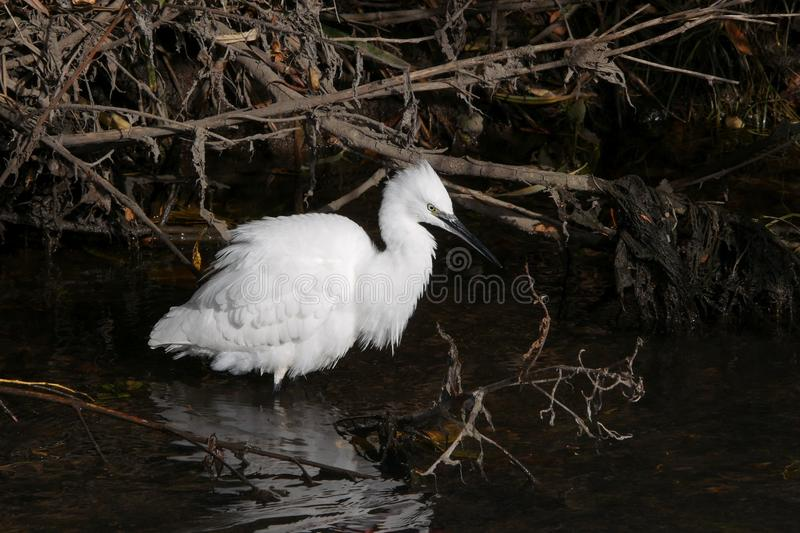 Little egret / Egretta garzetta wading in river with white plumage splayed out. As they do when threatened stock photo