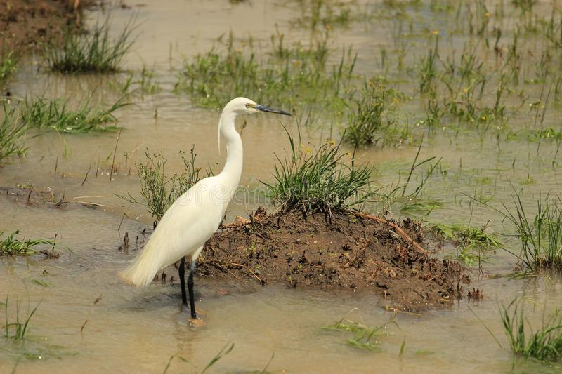 Little Egret {Egretta garzetta} in the wetland stock photography