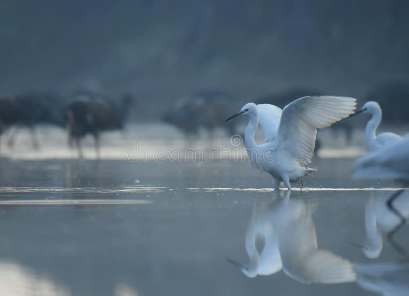 Little Egret  fishing at sunrise stock photos