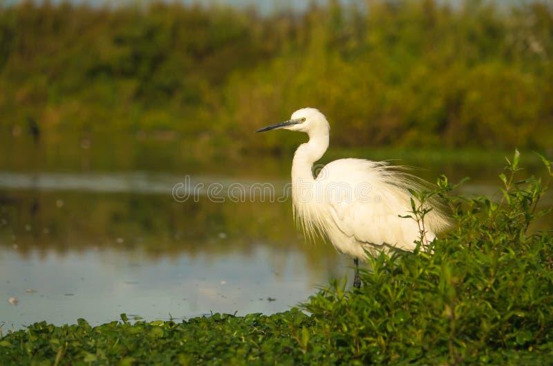 Little Egret. Egretta garzetta, shacking it`s plumage, wading in a shallow water lagoon in Italy royalty free stock photo