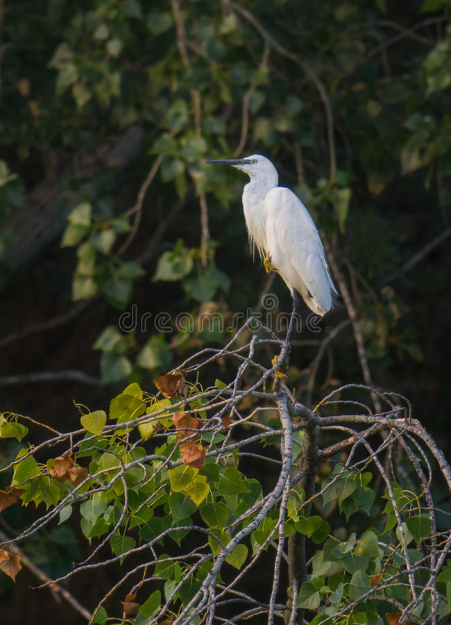 Little Egret perching in evening light. A Little Egret - Egretta garzetta - perching on top of a tree in the evening light of sunset in Southern Europe royalty free stock image