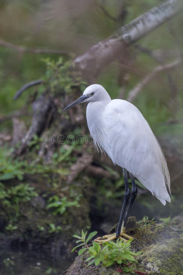 Portrait of a Little egret royalty free stock photos